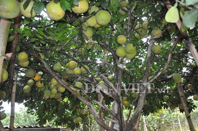 cây ăn quả, siêu quả, cây tiền tỷ, cây quý, nông sản,