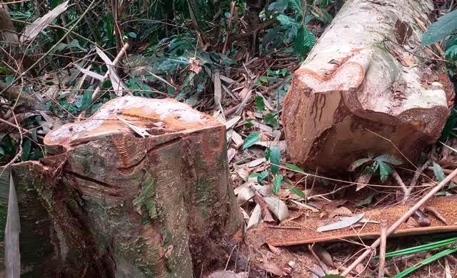 phá rừng, rừng nguyên sinh, Thanh Hoá, lâm tặc