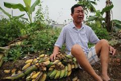 Khóc nghẹn trước 3.000 cây chuối bị giang hồ đất Cảng chém gục
