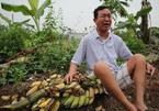 Công an thông tin vụ hàng nghìn cây chuối bị giang hồ chặt phá