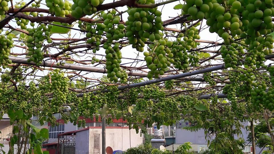 'Siêu nông dân ruộng bê tông': 35m2 sân thượng thu 2 tạ nho