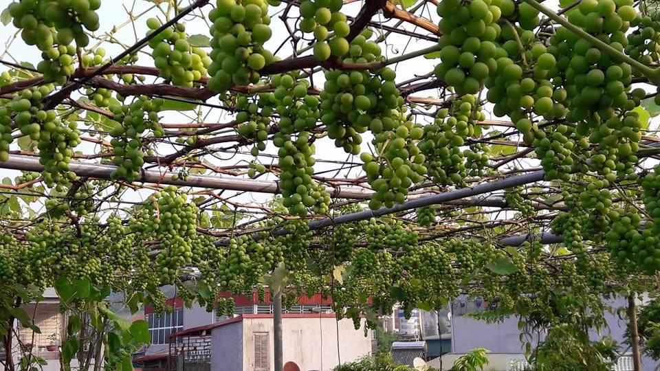 Trồng nho trên 35m2 sân thượng, nông dân thu 2 tạ quả
