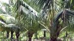 'Đút túi' trăm triệu đồng/năm từ 70 cây dừa xiêm
