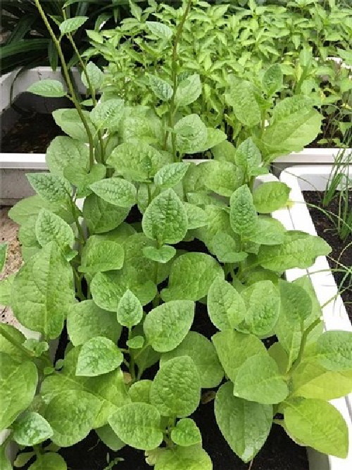trồng rau sạch, sao Việt, vườn rau sân thượng