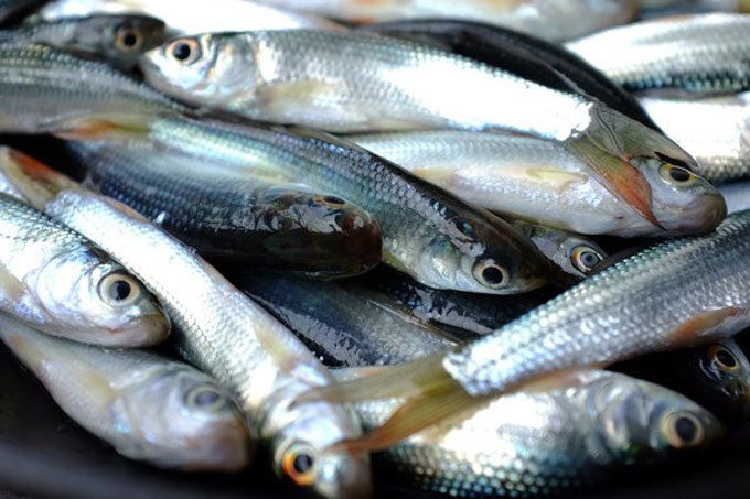 Cá linh mùa nước nổi: 'Món quà' của lũ