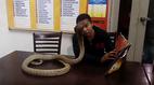 Người đàn ông có thể đọc sách, chơi bóng với rắn độc hổ mang chúa