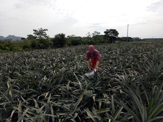 Thương lái Trung Quốc ồ ạt mua dứa xanh bất thường