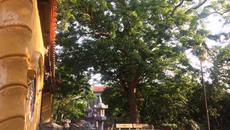 Cây sưa 400 năm tuổi: Dân làng quyết không bán