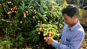Kỷ lục 10 năm: Vải thiều Bắc Giang mất mùa, giá tăng mạnh