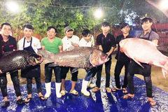 Bộ ba cá hô 'khủng' màu hồng, vàng, đen từ Campuchia về Sài Gòn