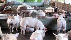 Trung Quốc chưa đồng ý nhập khẩu thịt lợn của Việt Nam