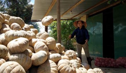 Bán 10 kg bí ngô không mua nổi một ổ bánh mì