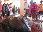 Cá voi mang thai lụy bờ, ngư dân chôn cất chu đáo