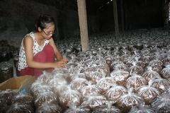 Bỏ thành phố về quê trồng nấm, lãi 500 triệu đồng/năm