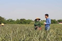 Thương lái Trung Quốc săn lùng cả dứa non