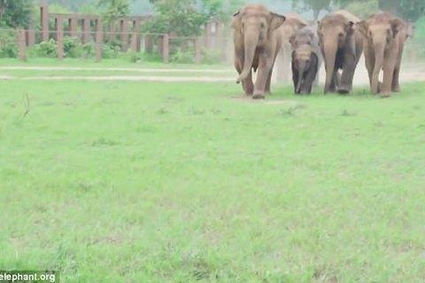 Bầy voi hồ hởi chạy tới chào mừng thành viên mới