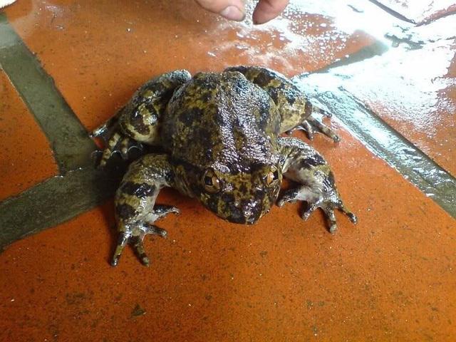 Món ngon, Món ngon mỗi ngày, Món ngon với ếch