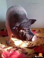 Bị buộc chuyển nhà 6 lần vì nuôi lợn 150kg làm thú cưng