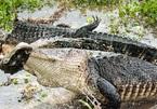 Cá sấu khổng lồ truy sát nuốt chửng đồng loại giữa đầm lầy