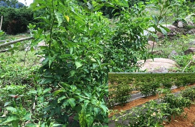 Lạ đời ớt rừng 300.000 đồng/kg, ớt nhà chỉ 2.000 đồng/kg