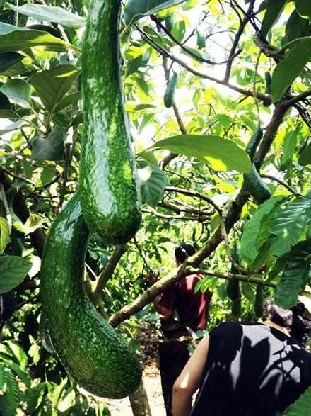 nông sản, nông dân, được mùa rớt giá, thương lái