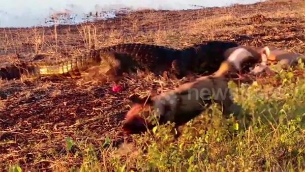 Bị 'sát thủ đầm lầy' đột kích, chó hoang chạy bán sống bán chết
