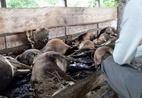 Hy hữu: Chập điện giật chết 16 con bò của một nhà