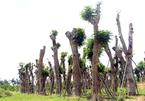 Hàng cây hẹn hò bên bờ Thủ Lệ được cứu sống sau di dời