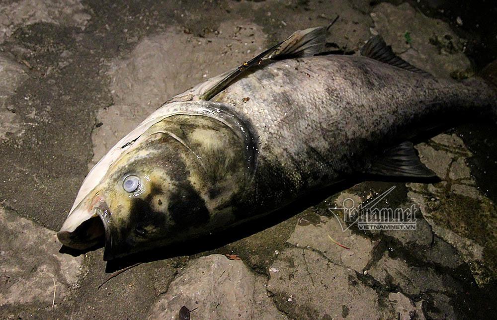 Hà Nội, cá chết, hồ Hoàng Cầu