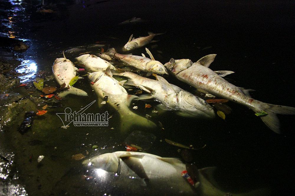 cá chết, hồ Hoàng Cầu, Hà Nội