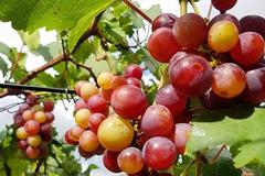 """""""Lạc trôi"""" vào vườn nho chín mọng của nông dân bê tông giữa Sài Gòn"""
