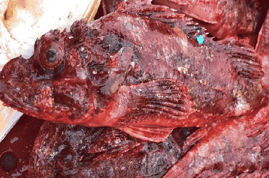 Săn cá mặt quỷ' nhìn phát ghê, ăn lại mê'