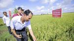 Sản xuất lúa sạch nhờ tận dụng nắng trời