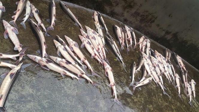 Cá tầm, cá hồi, Sa Pa, cá chết