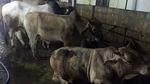 Hàng chục con bò chờ bơm nước no để giết thịt