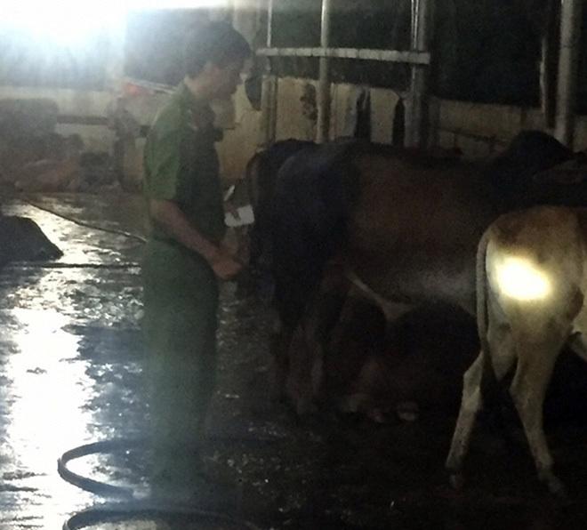 tăng trọng, bơm nước, thịt bò, thương lái
