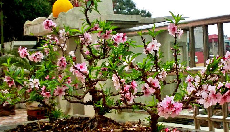 Vườn đào thất thốn ở lưng trời: Thân nhỏ xíu, sai trĩu quả