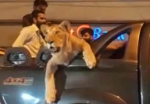 Đường phố náo loạn vì sư tư được chở trên ô tô đi dạo