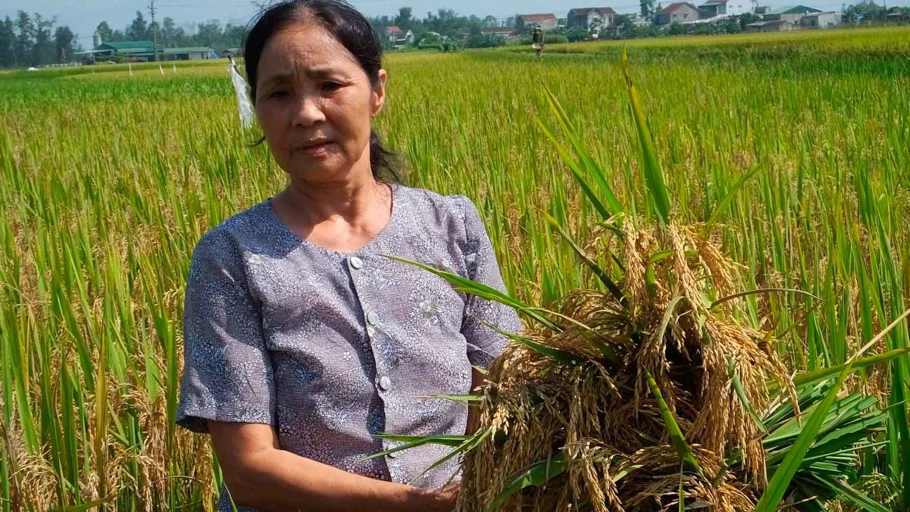 Hà Tĩnh: 'Mất mùa không phải do giống lúa Thiên Ưu'?