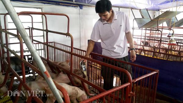thịt lợn giảm giá, nuôi lợn, thịt lợn, giải cứu lợn, chăn nuôi lợn, thương lái, nông dân