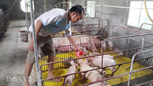 Lợn giống giảm còn 100.000 đ/con, dân giết thịt nuôi chó, mèo