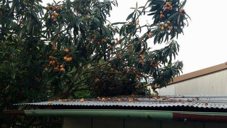 biwa Nhật, nho chuỗi ngọc, cherry, quả thanh mai, trái cây nhập khẩu,