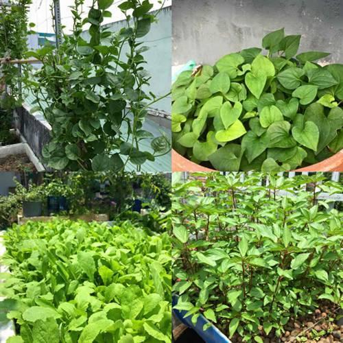 trồng rau sạch, trồng rau ban công, vườn rau trên sân thượng