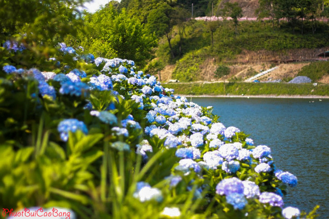 hoa cẩm tú cầu, cao bằng, chụp ảnh hoa cẩm tú cầu, hoa cẩm tú cầu cao bằng
