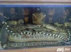 Rắn hổ mang chúa 45kg giá 10.000 USD ở Hà Nội