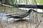 Bắt được chim cổ rắn cực kì quý hiếm ở Sài Gòn