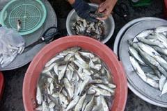 Chuyện lạ về cả làng ăn cá nóc ở Đà Nẵng