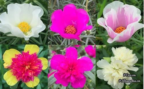 trồng hoa, hoa mười giờ, kiến trúc sư