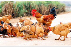 Bài toán tính số lượng gà đang nhặt thóc trên sân khiến bạn bị rối