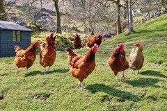 Đáp án bài toán tính số lượng gà đang nhặt thóc trên sân